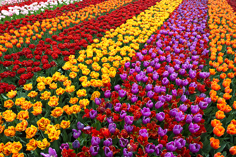 Tulips in bulb fields, Lisse, South Holland, The Netherlands, Europe