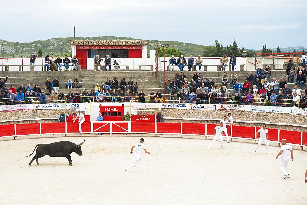 Camargue Bull running, Camargue, Rhone, France, Europe