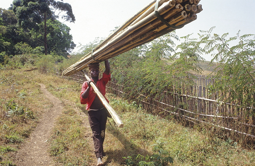 Harvesting bamboo, cameroon. Mount oku, bamenda highlands. Carrying newly cut bamboo