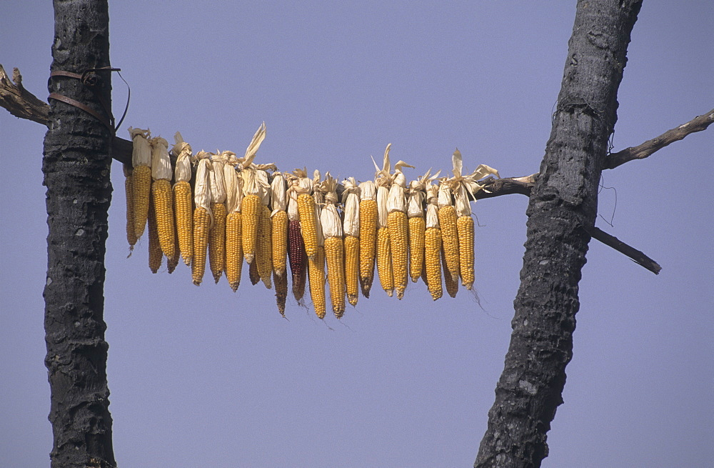 Agriculture, burkina faso. Silmiougou village. Drying maize in a tree