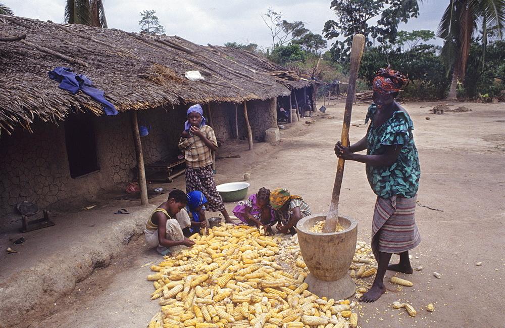 Pounding maize, ivory coast. Vicinity daloa town. Guediboua village