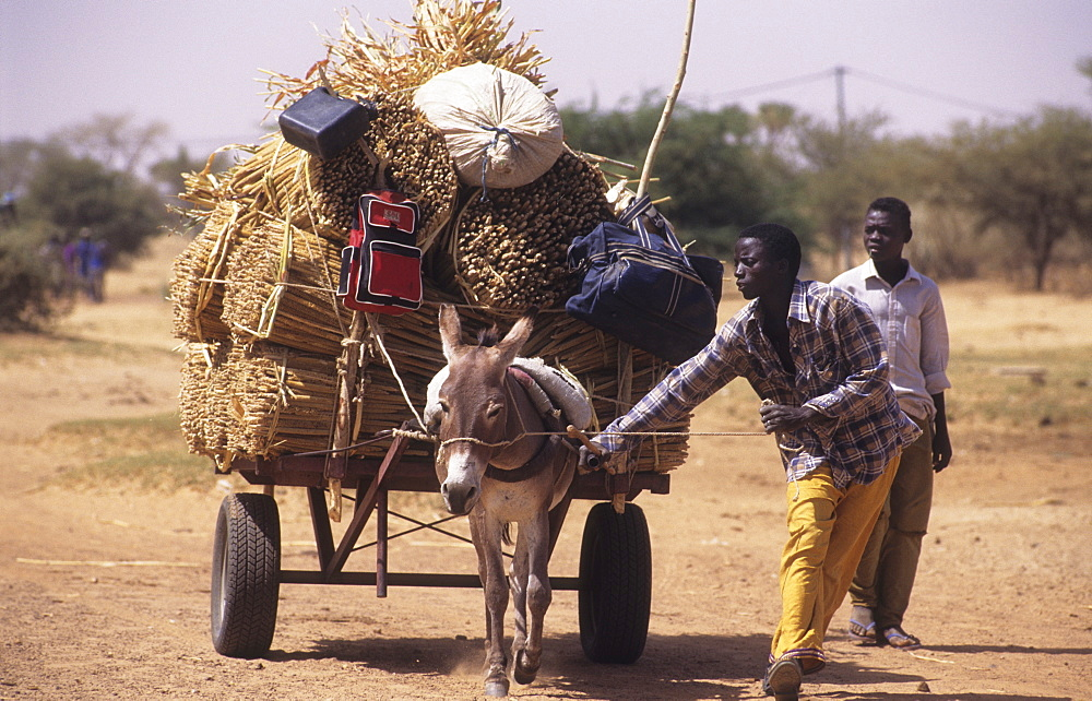 Agriculture, burkina faso. Kaya village. Bringing home the harvest. Donkey and cart