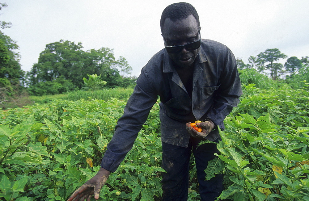 Onchoceriasis, ivory coast. Vicinity odienne. Farmer blinded by river blindness. This disease has now been brought under control in west africa by whos ocp programme.