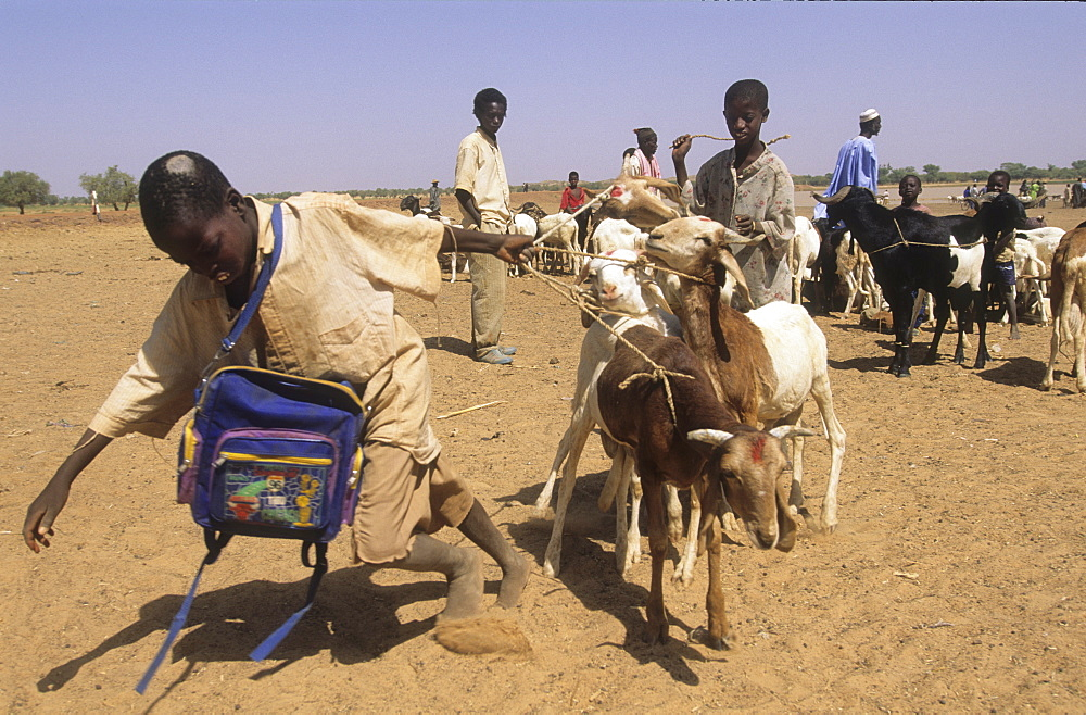 Goats, burkina faso. Vicinity kaya. Goats at market