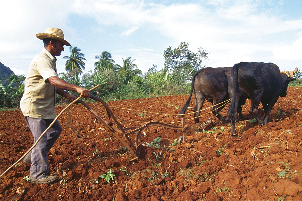 Cuba, agriculture. Vinales. Farmer with oxen, ploughing