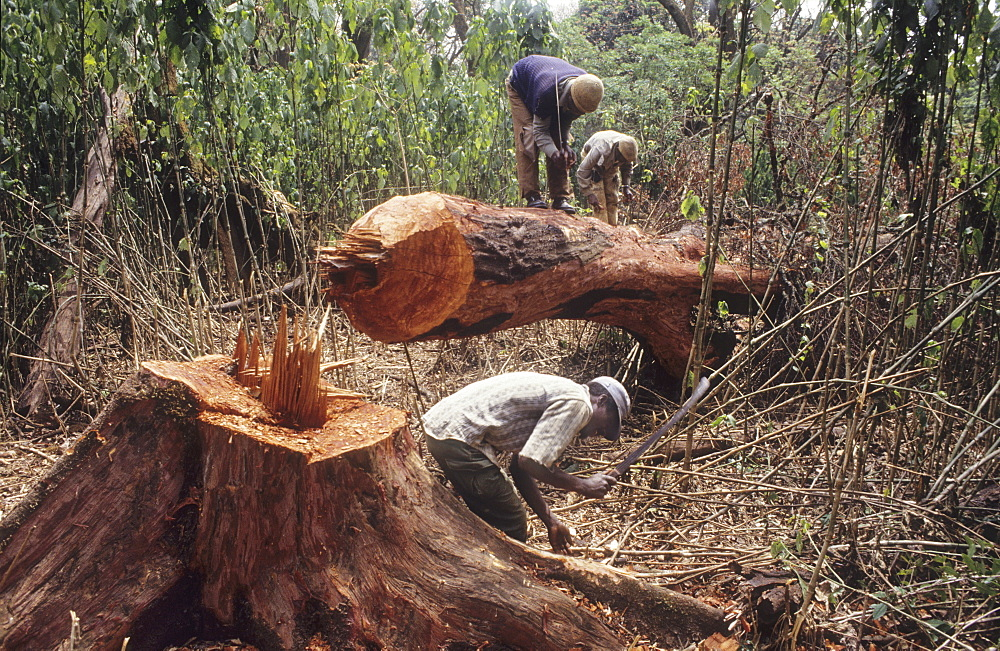 Logging, cameroon. Mount oku, bamenda highlands. Prunus africana trees felled so tha their bark can be stripped and sold to the french drug company laboratoires debat, to make tadenan, a medicine which alleviates the symptoms of prostitis. Over collections of this bark has contributed to massive deforestation