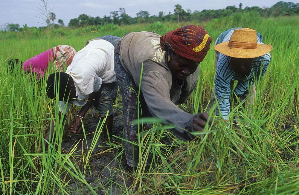 Rice harvest, ivory coast. Ferekessedougou.