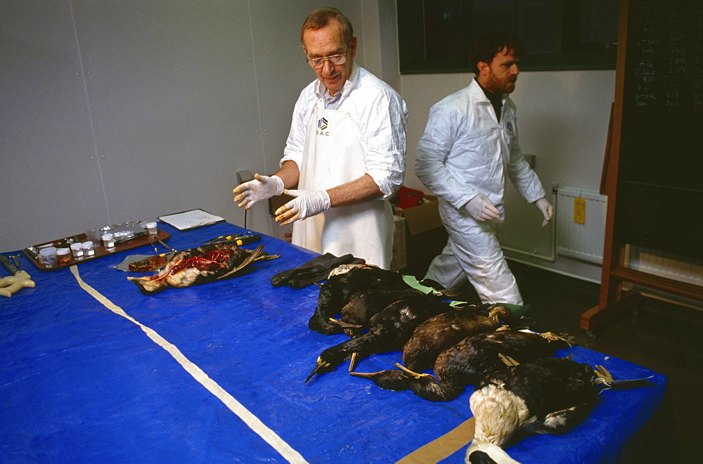 Shetland islands, oil disaster. Scientists performing autopsies on oiled birds. The results will be stored in a data base and the information will be used to assess the impact of the oil spill on bird populations. On 5th january 1993, the oil tanker the braer ran aground in the shetland islands spilling 85,000 tonnes of light crude oil