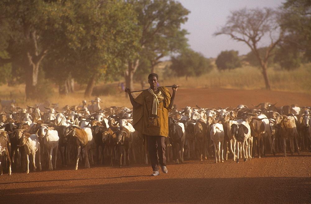Goats, burkina faso. Vicinity kaya. Goats being taken to market