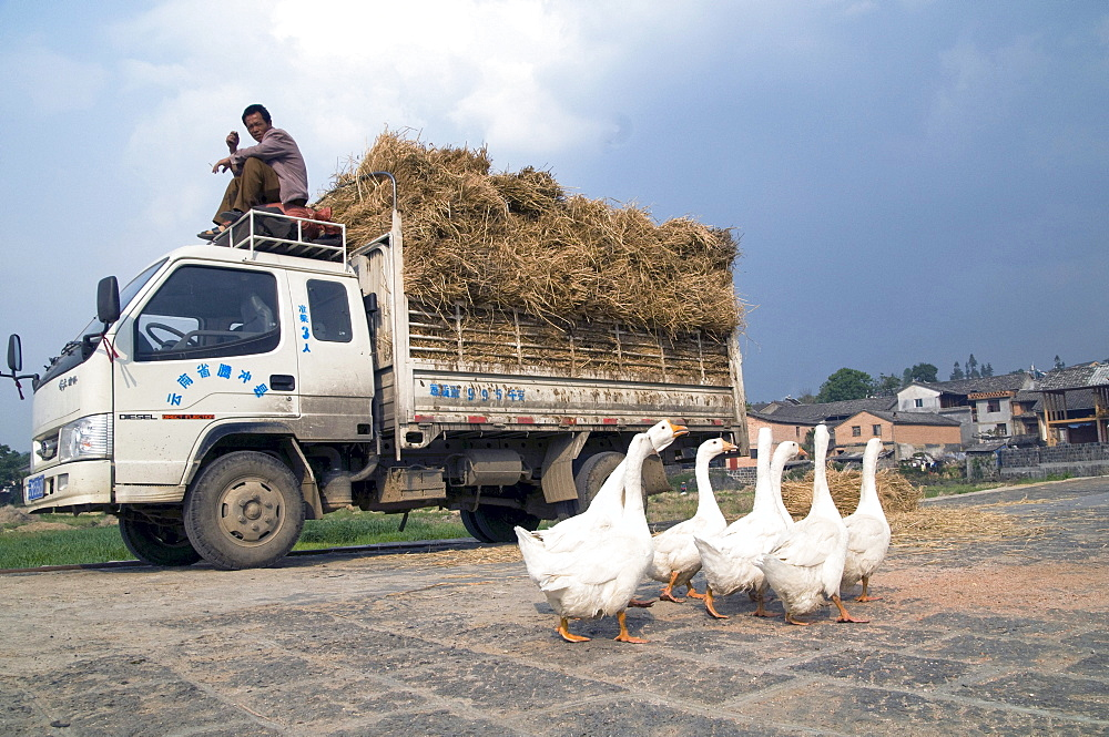 China truck loaded with hay during harvest time in yunnan province