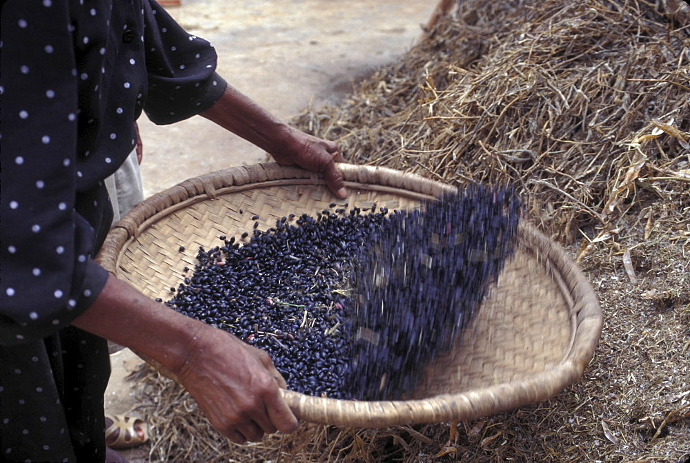 Cooking, haiti. Gonaives. Cleaning beans before cooking