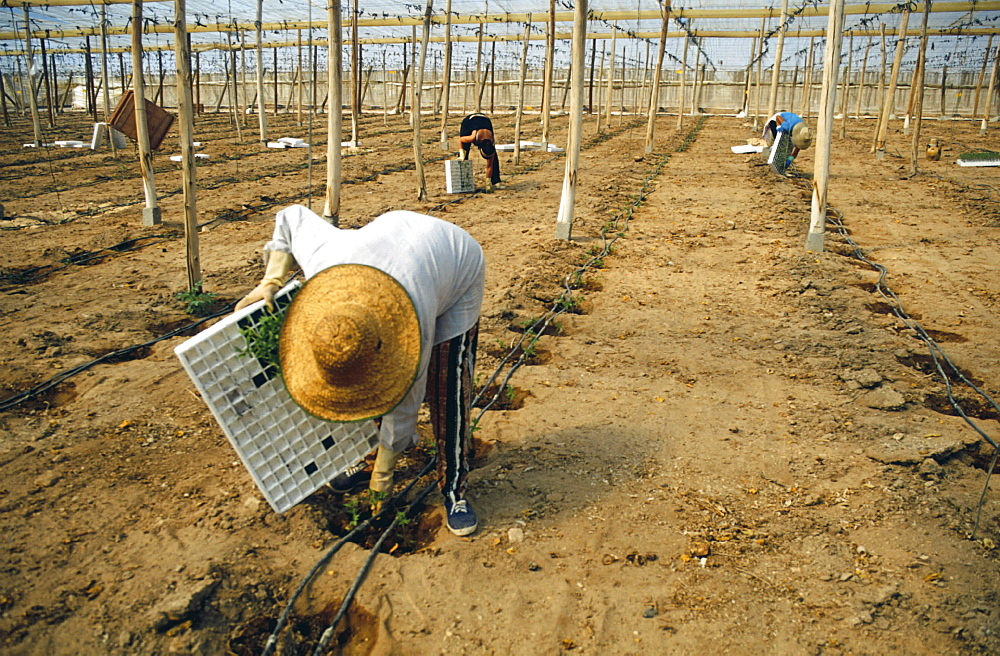 Agriculture, spain. Andalucia, almeria. Immigrant woman planting cherry tomatoes for british supermarkets in a greenhouse