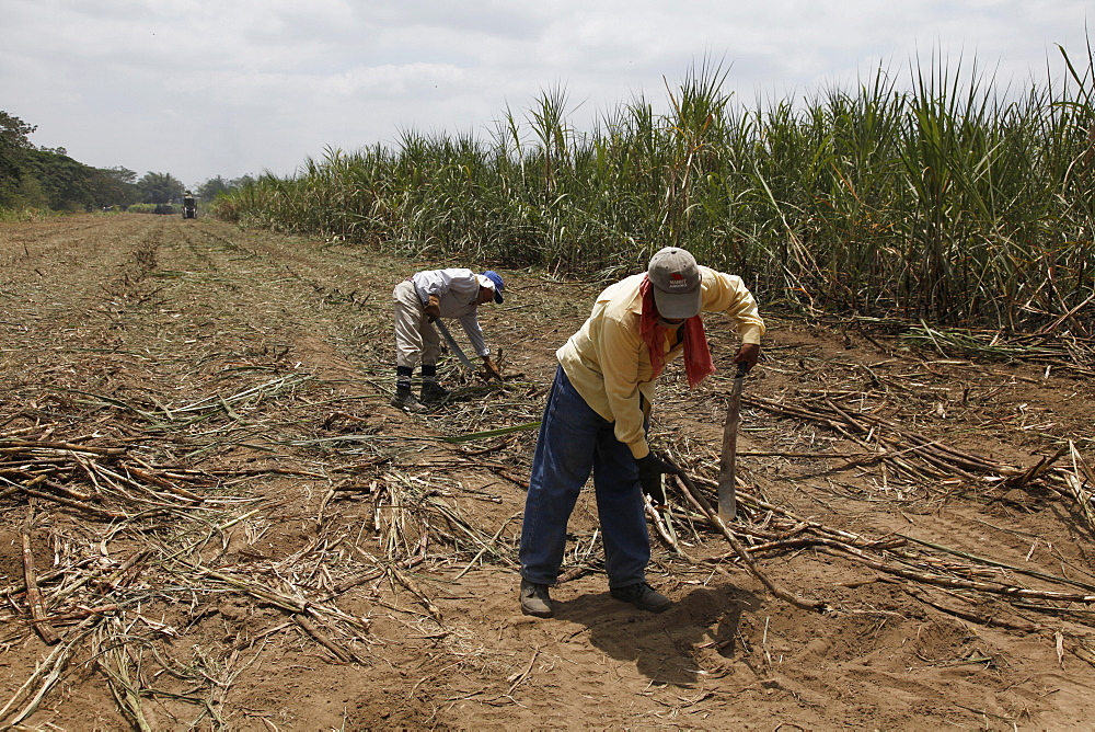 Sugar harvesting and production in the lowlands of Ecuador, South America
