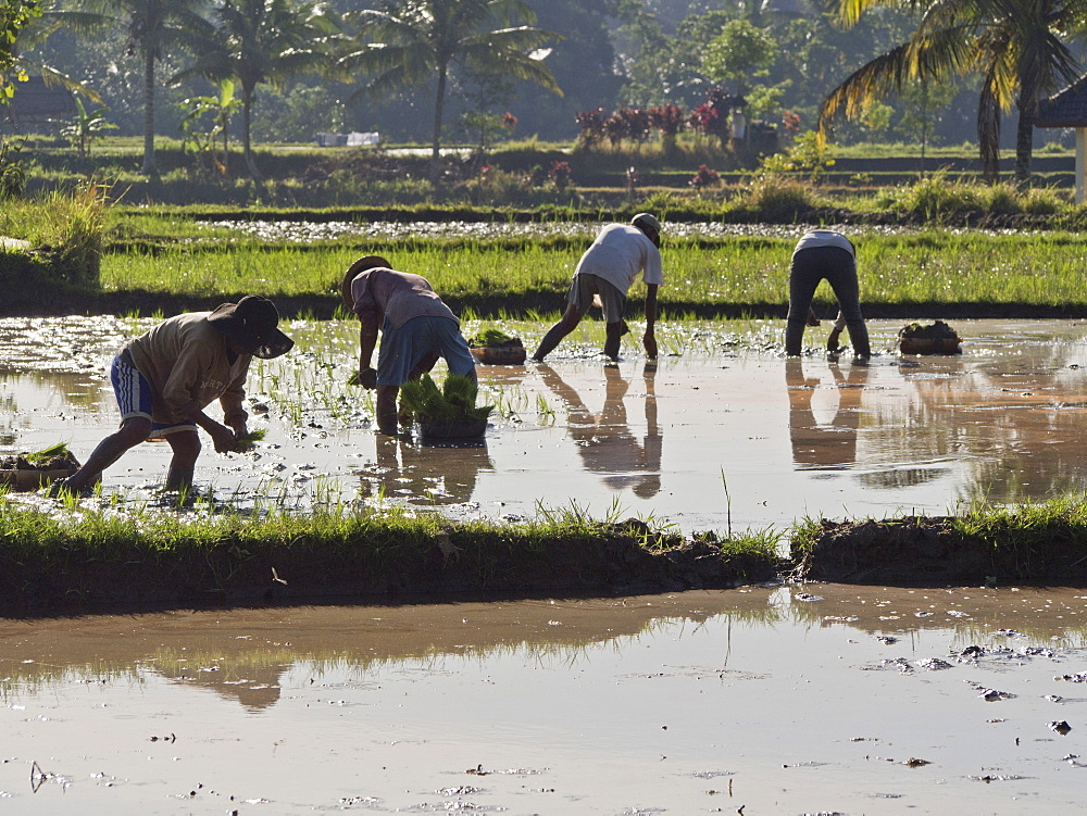 Rice farmers planting new crop in the highlands in Bali, Indonesia, Southeast Asia, Asia