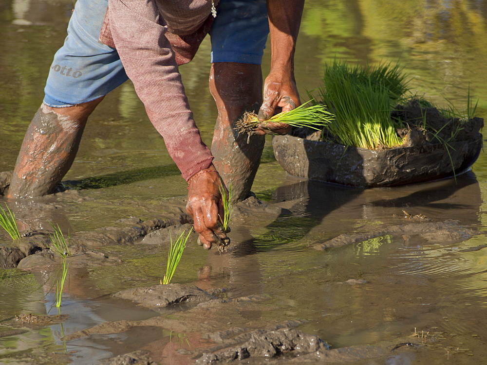 Rice farmer planting new crop in the highlands in Bali, Indonesia, Southeast Asia, Asia