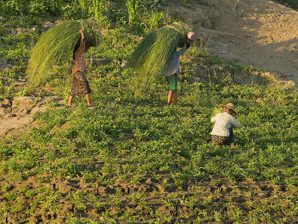 Farmer doing agricultural work in a field by the Irrawaddy River, Myanmar (Burma), Asia