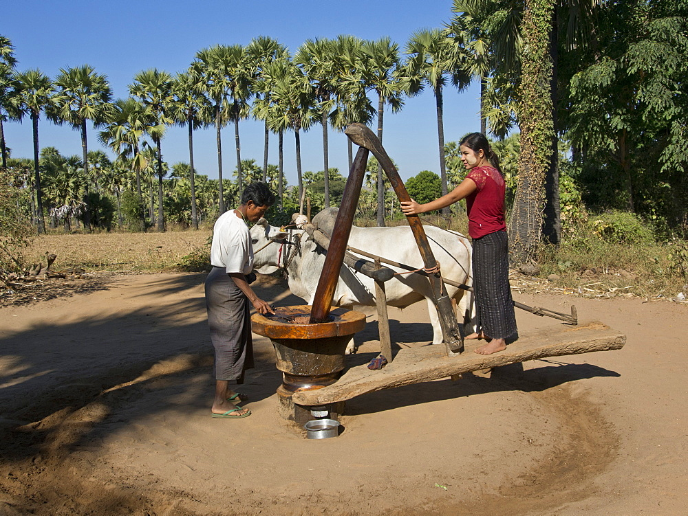 Farmers doing agricultural work in a field by the Irrawaddy River, Myanmar (Burma), Asia
