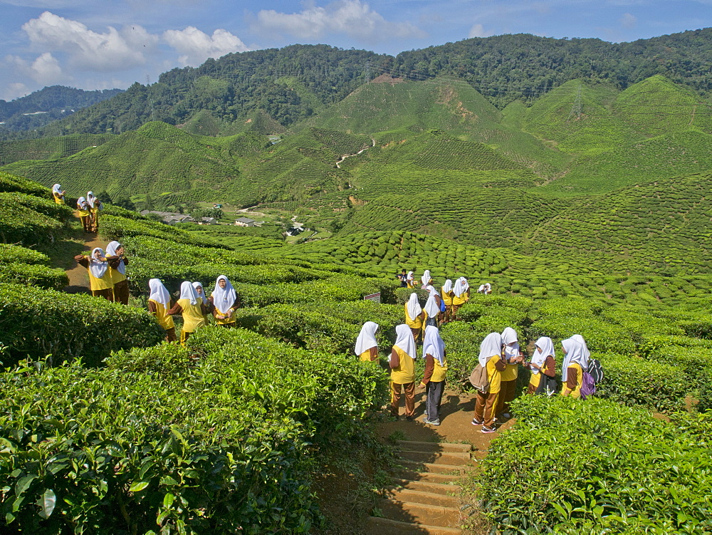 Tea plantation in the Cameron Highlands, Malaysia, Southeast Asia, Asia