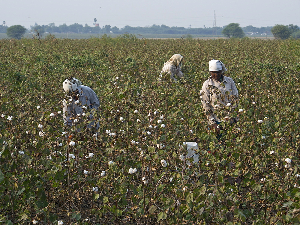 Cotton pickers in Tamil Nadu, India, Asia