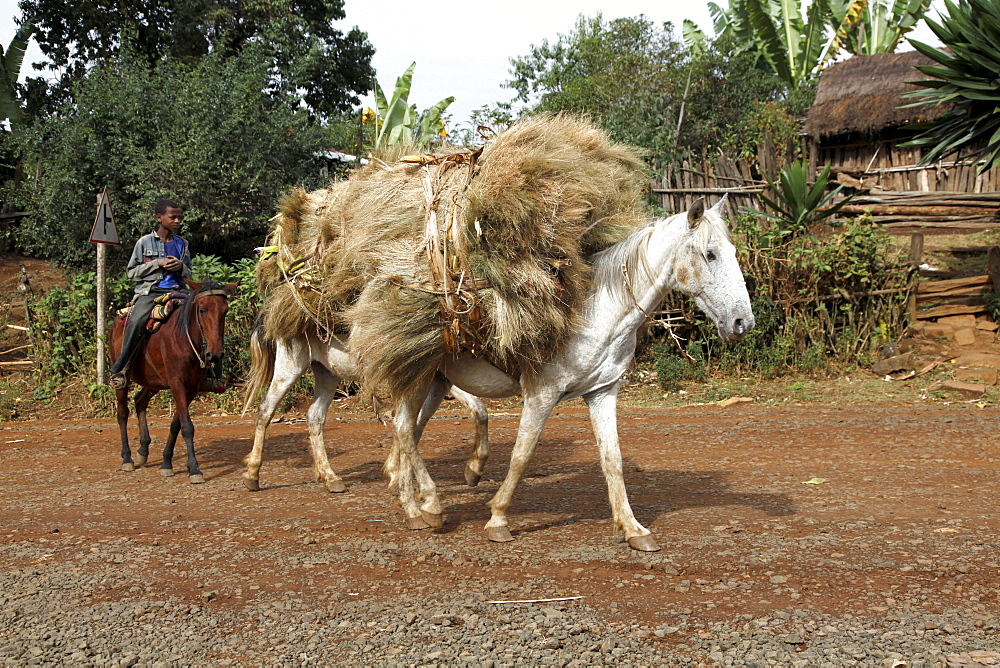 Boy riding donkey and taking harvest to a farm in the Jimma region of Ethiopia, Africa