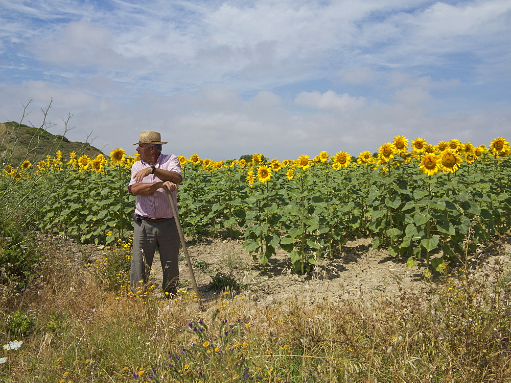 Farmer by sunflower fields, Andalucia, Spain, Europe - 1188-845