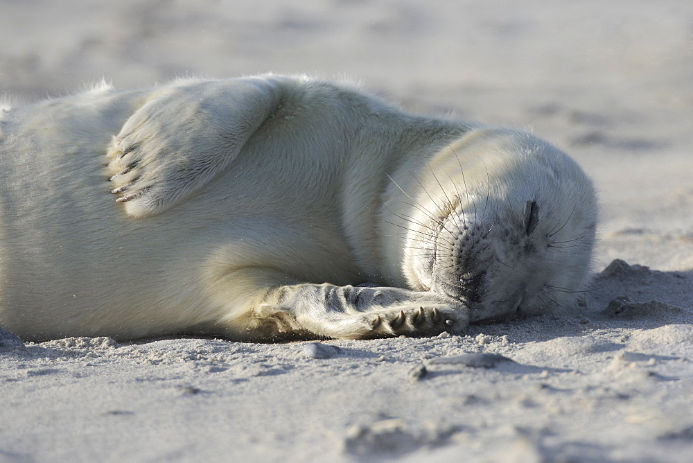 Grey seal, Helgoland-Duene, Germany, Europe - 1189-42