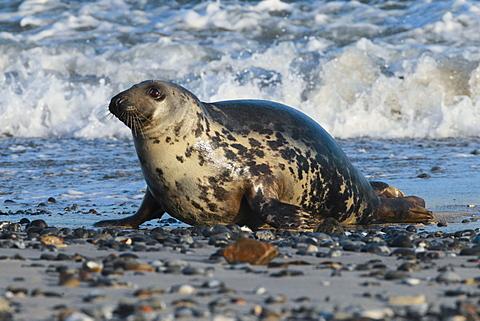 Grey seal, Helgoland-Duene, Germany, Europe