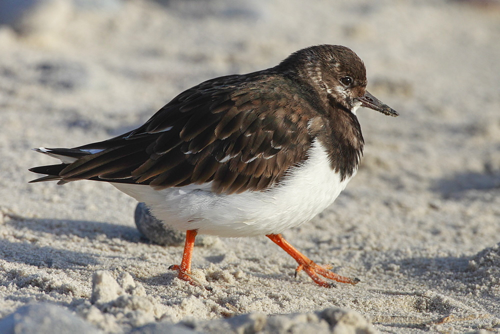 Ruddy turnstone on sandy beach, Germany, Europe