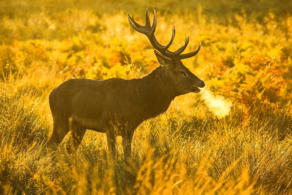 Red deer stag at sunrise, Richmond Park, Greater London, England, United Kingdom, Europe - 1189-67