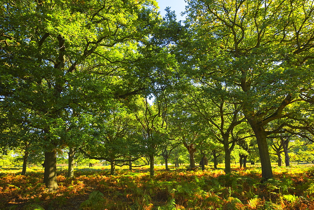 Oak trees, Richmond Park, Greater London, England, United Kingdom, Europe - 1189-71