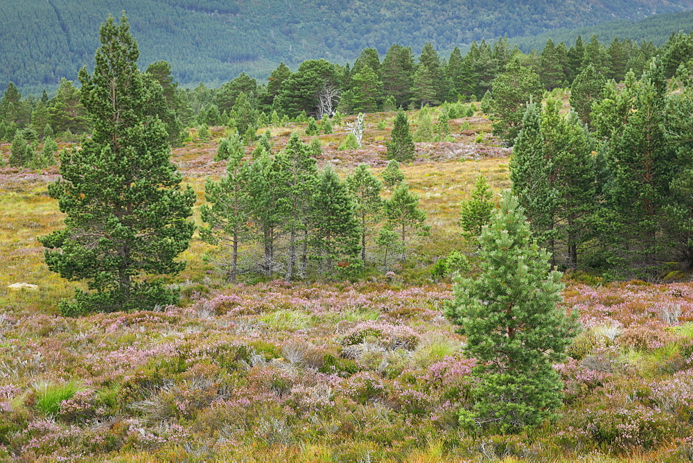 Scots pine, Cairngorms National Park, Scotland, United Kingdom, Europe