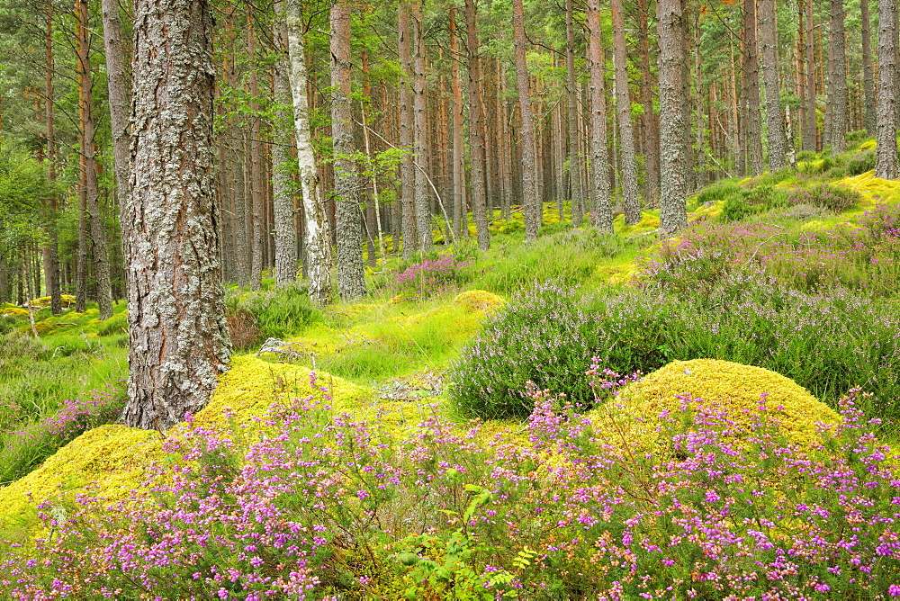 Caledonian pine forest, Carrbridge, Highlands, Scotland, United Kingdom, Europe