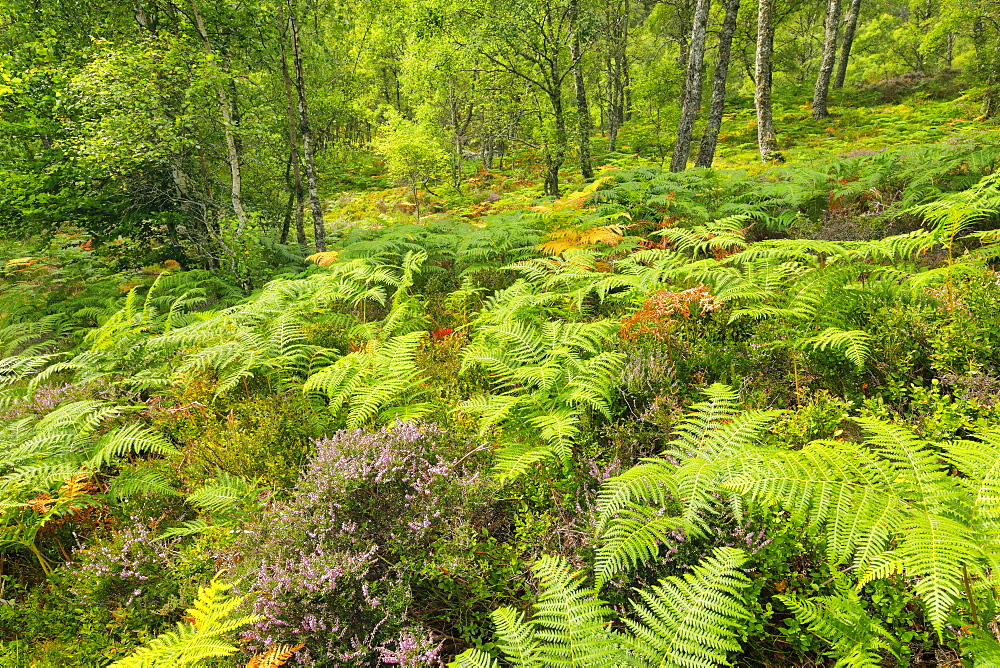 Craigellachie National Nature Reserve, Highlands, Scotland, United Kingdom, Europe