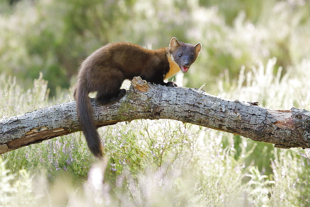 Pine marten (Martes martes), Scotland, United Kingdom, Europe