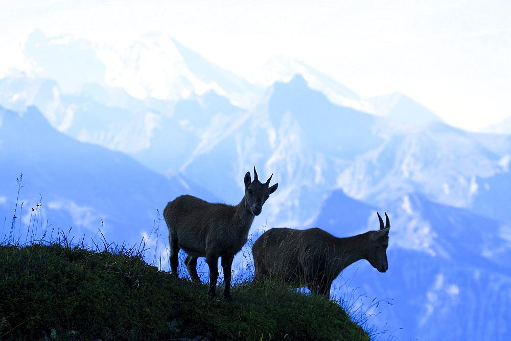 Ibex, Alpine, Ibex, Steinbock, Capra ibex, Bernese Oberland, Bern, Switzerland