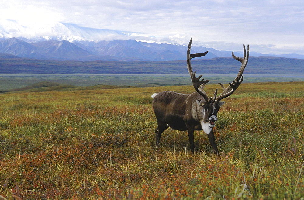 Caribou, rangifer tarandus. Male/ bull in tundra; usa, alaska (alaska range in background)