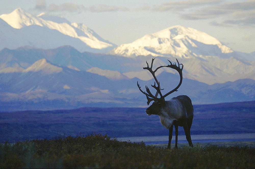 Caribou, rangifer tarandus. Male/ bull in tundra; usa, alaska (alaska range in background) .