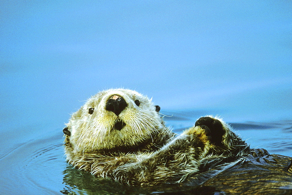 Sea otter, enhydra lutris. Swimming; lying on its back; summer. Restrictions for postcards in german-speaking areas