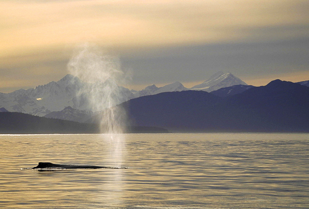 Humpback whale, megaptera novaeangliae. back and blowhole at sunset; mountains as backdrop; evening light
