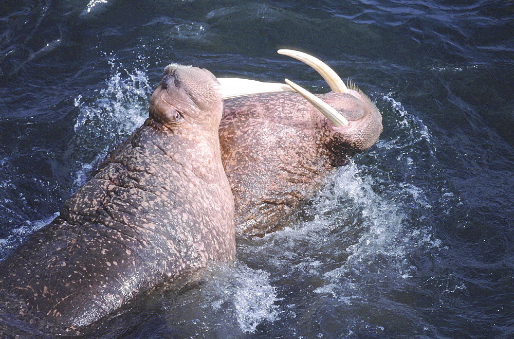 Walrus, odobenus rosmarus. Males/ bulls fighting in the water; long white tusks