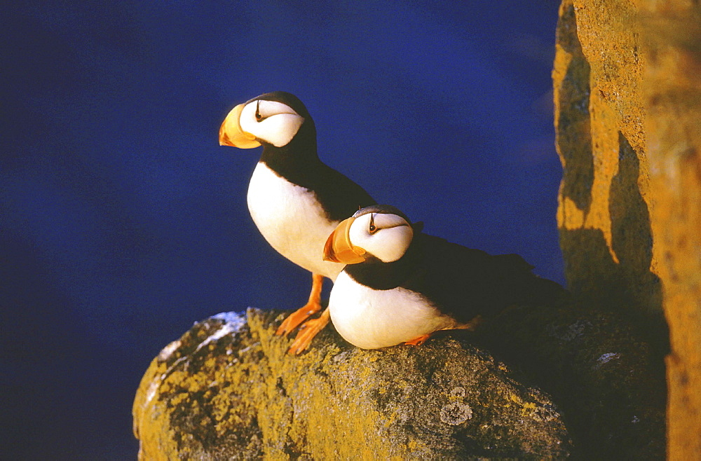Horned puffin, fratercula corniculata. Couple standing on rock; evening light