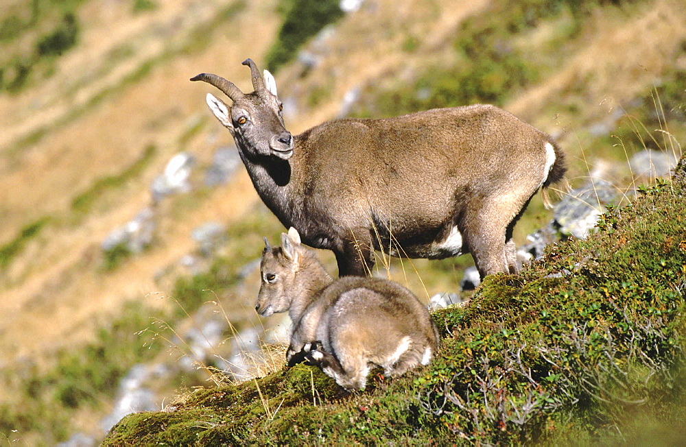 Ibex or steinbok, capra ibex. Mother with young