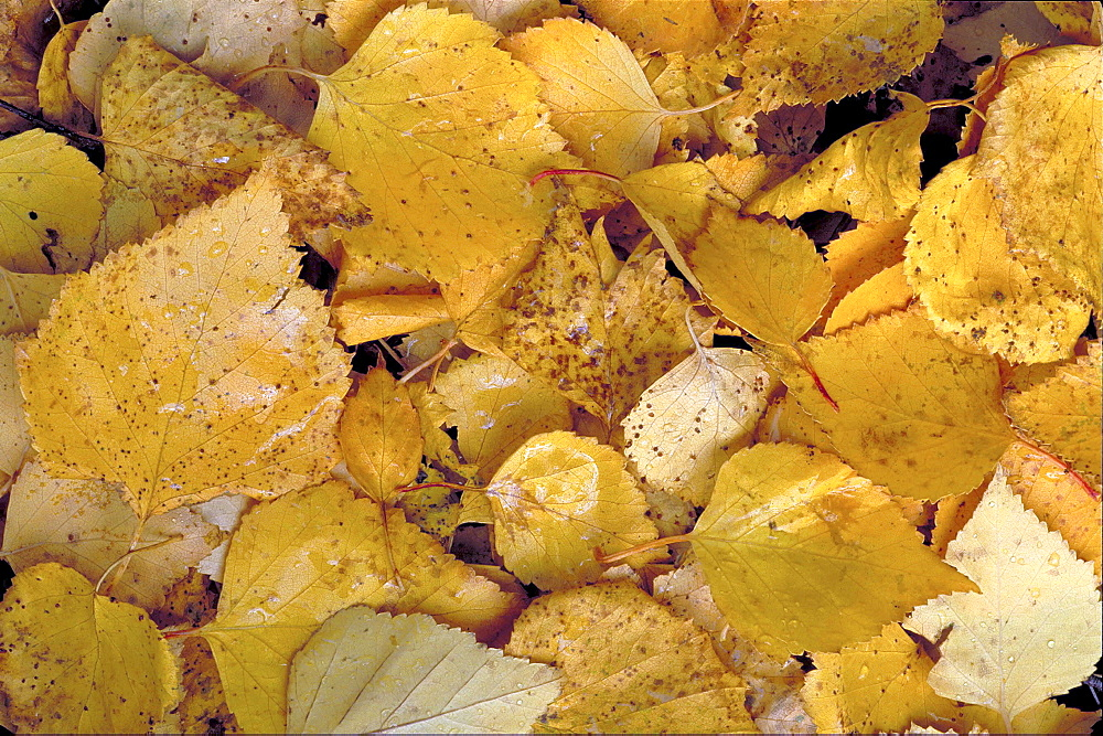 Birch tree. Birch tree leaves in autumn colour; covering the ground