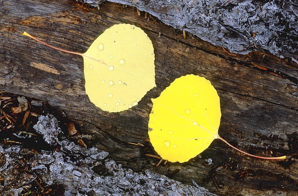 Birch tree. Yellow birch tree leaves with raindrops, lying on bark; close up: autumn