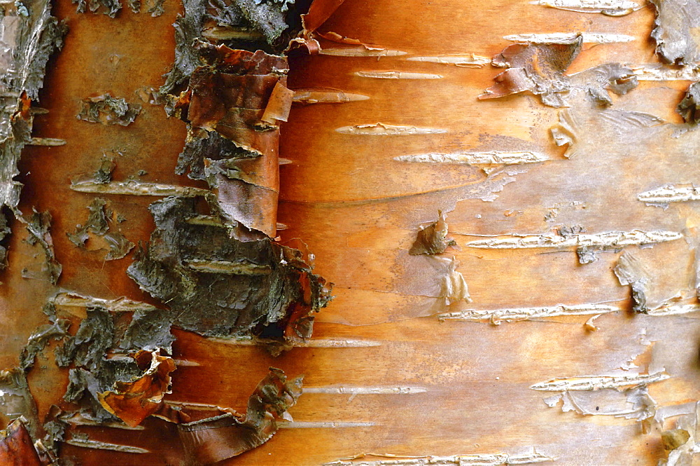 Birch tree. Bark of birchtree; closeup; red-orange treetrunk