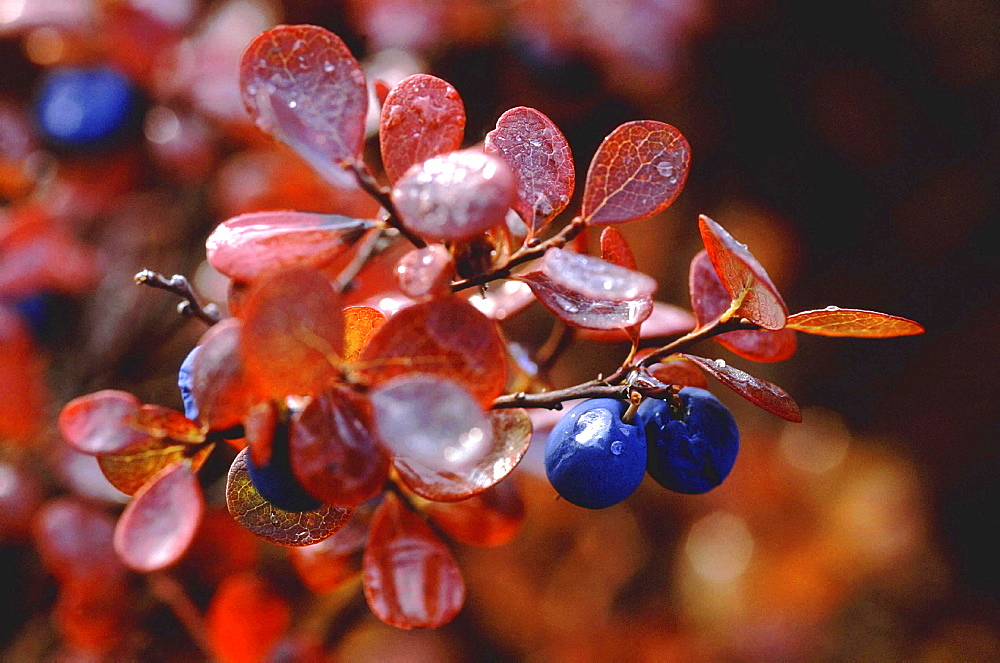 Blueberries. With raindrops; autumn colours