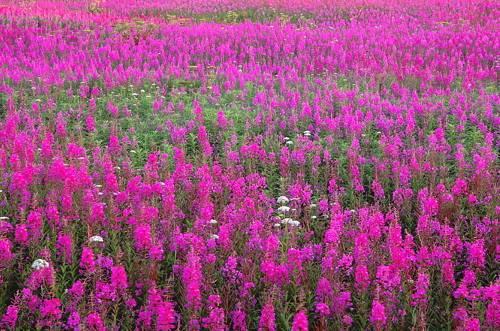 Fireweed, epilobium angustifolium. Field with mass of flowers in pink