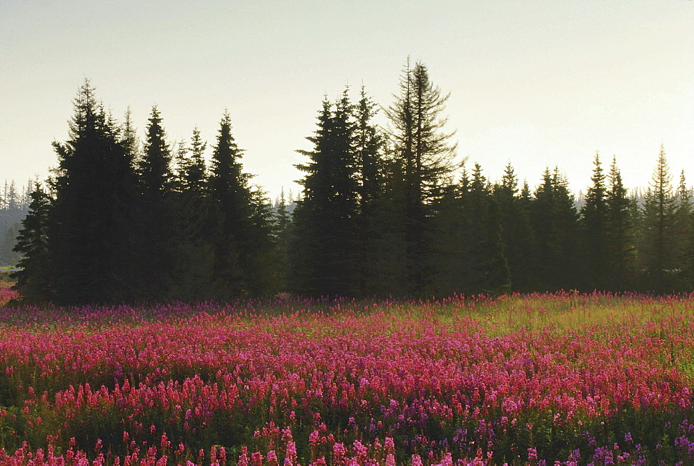 Fireweed, epilobium angustifolium. Field with mass of flowers in pink; morning light