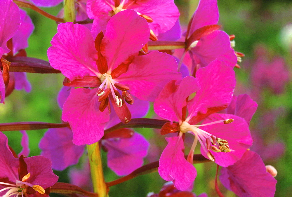 Fireweed, epilobium angustifolium. Evening light; brilliant pink flowers; close up