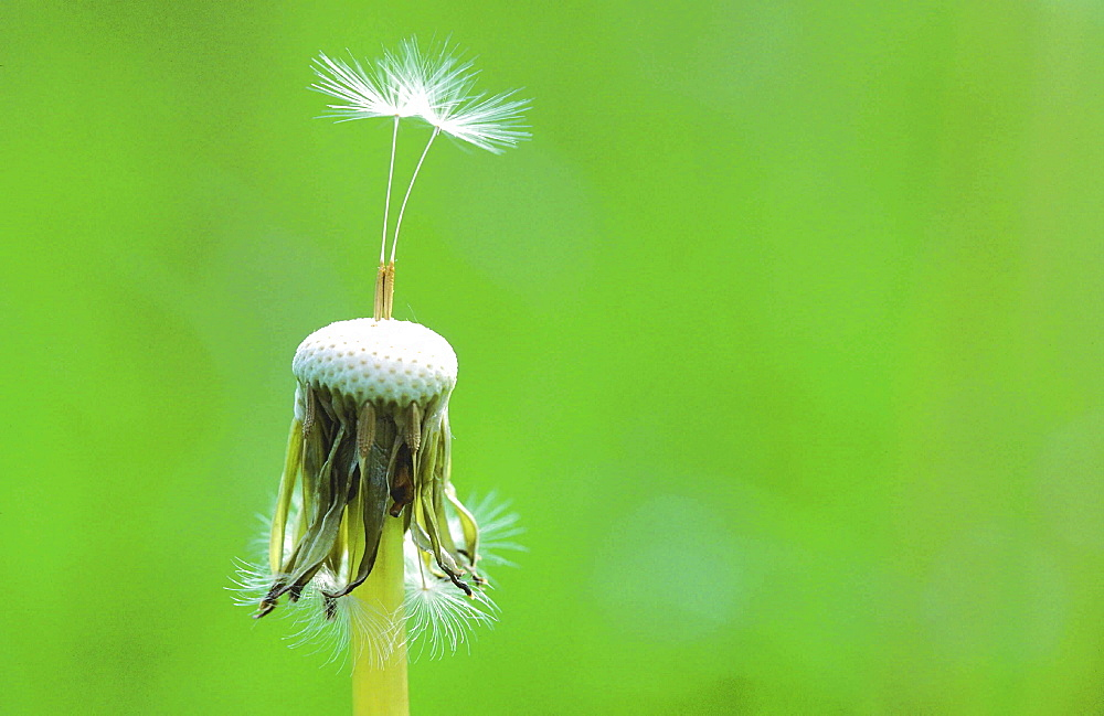 Dandelion, taraxacum officinale. Close up of seedheads in spring